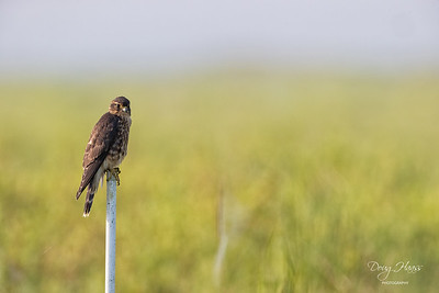 Merlin (Falco columbarius) safely perched inside the fence on Frozen Point Road in Anahuac National Wildlife Refuge, Saturday morning 09/18/2021.