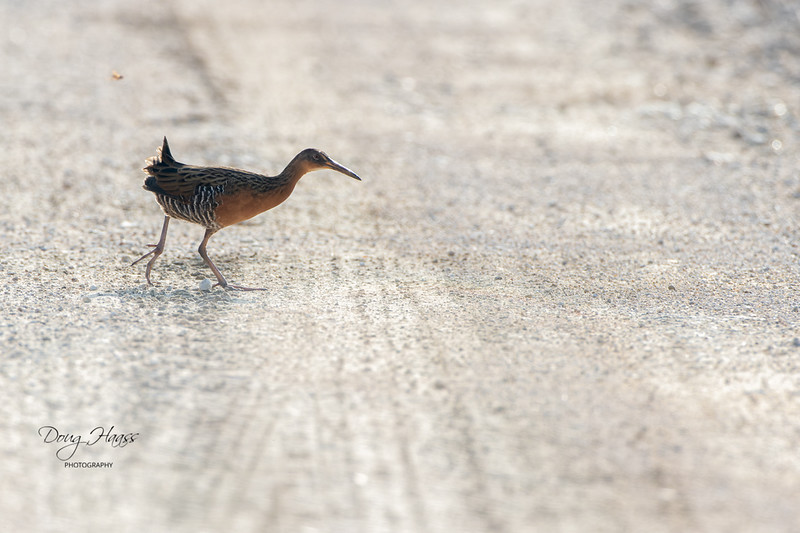 King Rail (Rallus elegans) hot-footing it across Frozen Point Road in Anahuac National Wildlife Refuge, Saturday morning 9/18/2021.  If you look closely, you can see a wasp in pursuit, just over the tail.