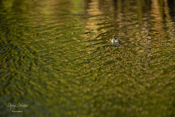Red-eared Slider Turtle in canal along Frozen Point Road, Friday evening 5/14/2021.