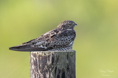 Common Nighthawk off Frozen Point Road, Saturday morning 7/24/2021.
