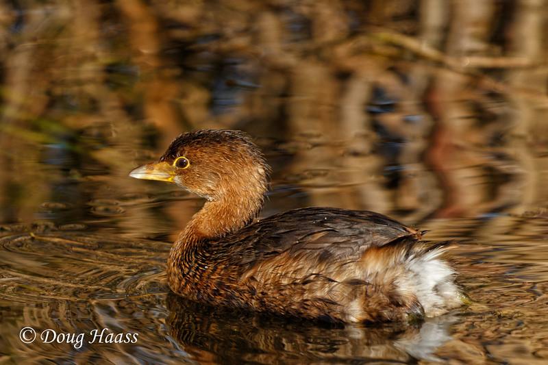 Pied-billed Grebe (Podilymbus podiceps) on Shoveler's Pond 12/09/2016