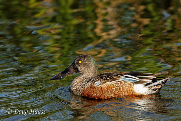 Northern Shoveler (Anas clypeata) adult male duck on Shoveler's Pond 12/09/2016