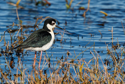 Black-necked Stilt on Shoveler Pond 2/25/2017.
