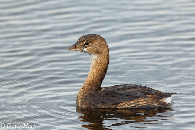 Pied-billed Grebe on Shoveler Pond 3/04/2017.