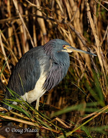 Tri-colored Heron (Egretta tricolor) on Shoveler's Pond 12/09/2016