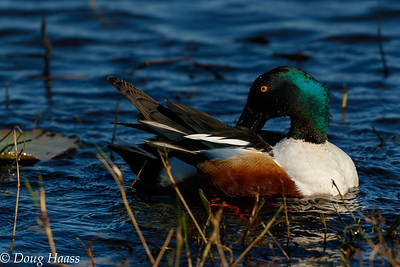 Northern Shoveler male on Shoveler Pond 2/25/2017