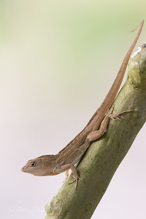 Adult male Brown Anole in crepe myrtle in front yard 5/25/2020.