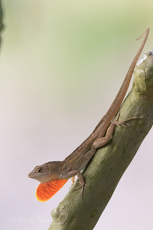 Adult male Brown Anole with dewlap, in crepe myrtle in front yard 5/25/2020.