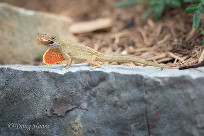 Adult male Brown Anole with June bug and dewlap showing in my backyard 5/25/2020.