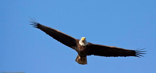 Bald Eagle - Male