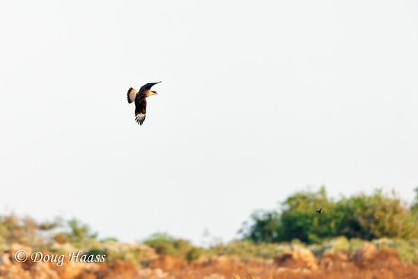 Crested Caracara chasing a Cowbird...check out the lower right in the middle of the green tree.