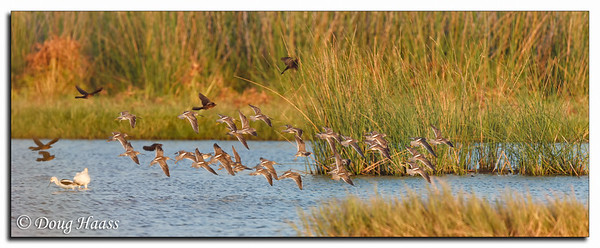 Cowbirds, Ibis, Avocet and  either Long or Short-billed Dowitchers at liftoff over Teal Pond