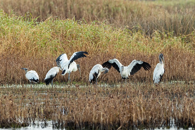 Wood Storks at the back of Olney Pond on the auto loop, 7/18/2020.