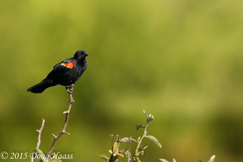Red-winged Blackbird male Agelaius phoeniceus
