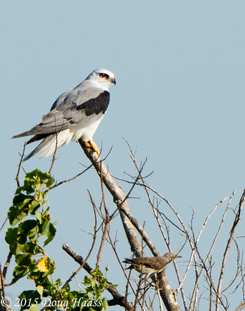 White-tailed Kite Elanus leucurus being harassed by a another bird.