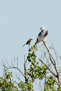 White-tailed Kite Elanus leucurus being harassed by a Loggerhead Shrike.