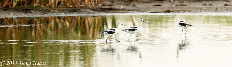 Avocet Recurvirostra on Olney Pond