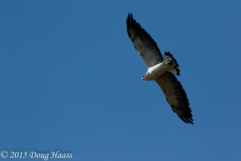 White-tailed Hawk adult Buteo albicaudatus