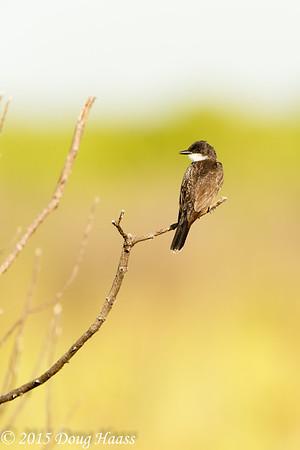 Juvenile Eastern Kingbird Tyrannus tyrannus