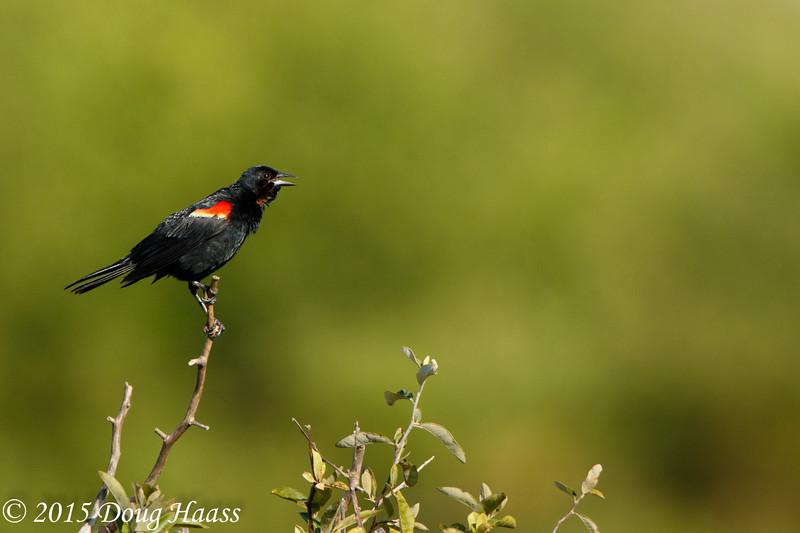 Red-winged Blackbird male Agelaius phoeniceus