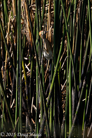 Can you see me?  Least Bittern adult Ixobrychus exilis