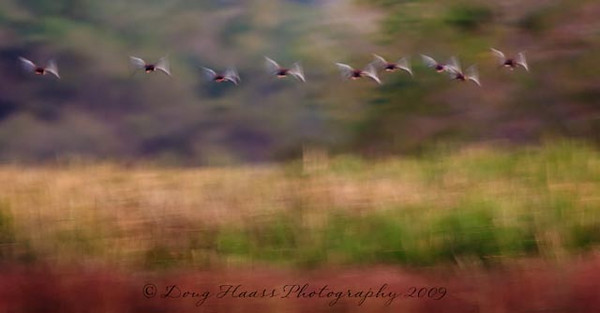 Black-bellied whistling ducks in flight at sunrise