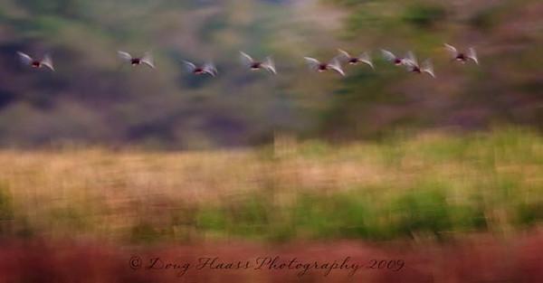 Black-bellied whistling ducks in flight at sunrise