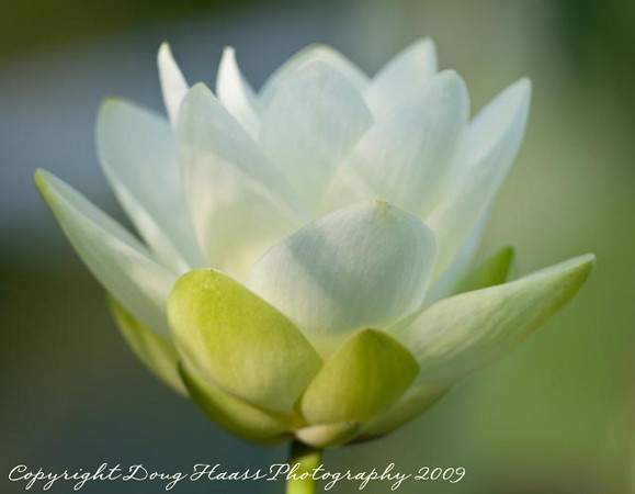 Lotus Flower at 40 Acre Lake
