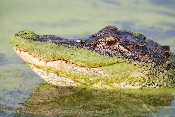 Alligator arching back and head for mating call