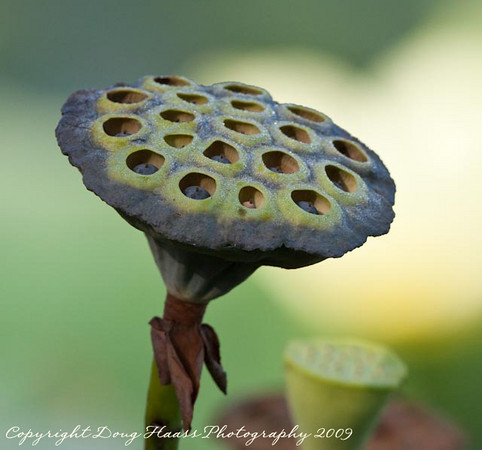 Lotus Seed Pod (Fruit) with Seeds