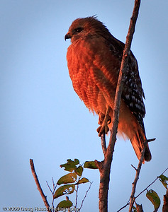 Red Shouldered Hawk watching the sun rise