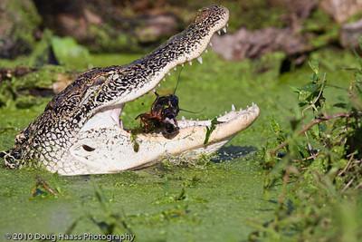 American Alligator eating a crawfish on 40 Acre Lake