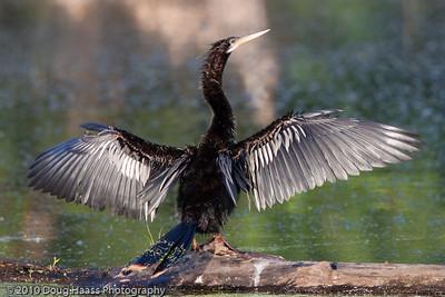 Anhinga drying its wings on 40 Acre Lake
