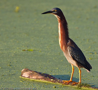 Green Heron on 40 Acre Lake