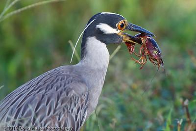 Yellow-crowned Night Heron eating a crawfish