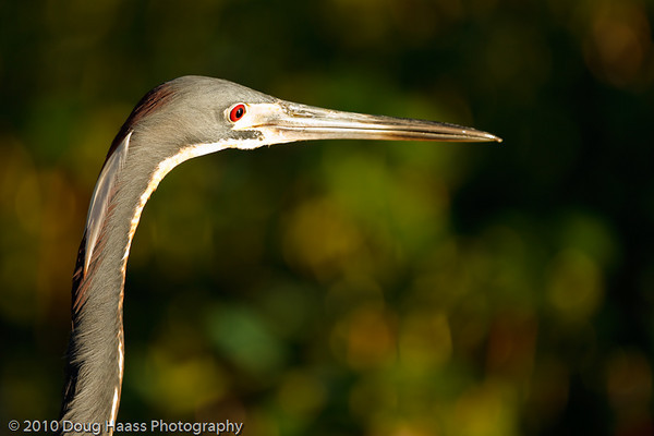 Tri-colored Heron at 40 Acre Lake