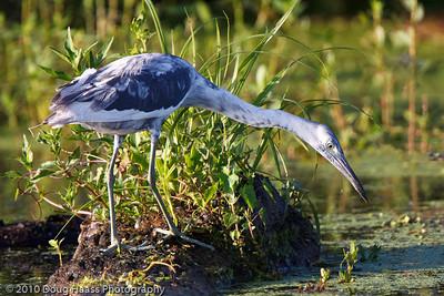 Immature Little Blue Heron on 40 Acre Lake