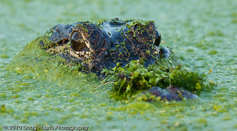 American Alligator camoflauged