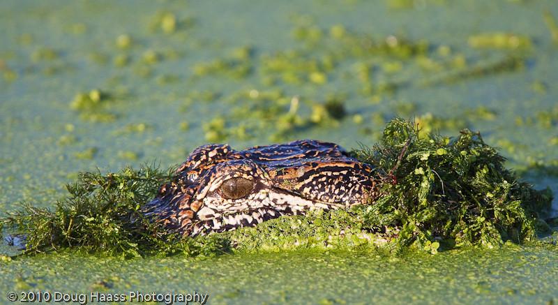 American Alligator on 40 Acre Lake wearing camo.