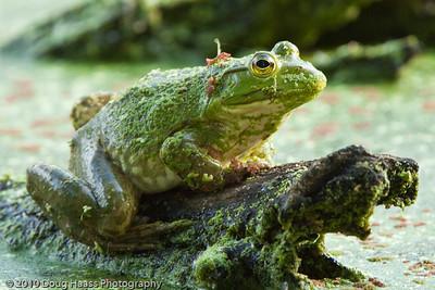 American Bullfrog on Pilant Lake