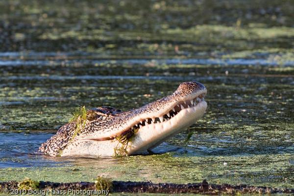 American Alligator on 40 Acre Lake eating crawfish