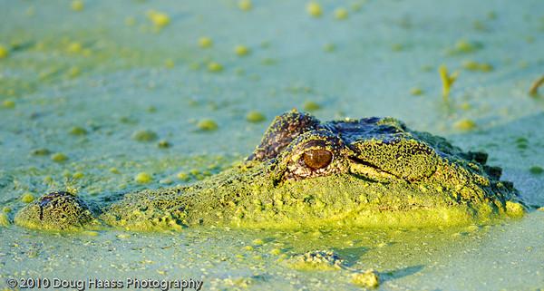 American Alligator at 40 Acre Lake