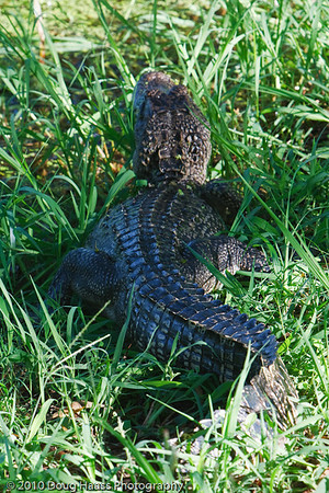 American Alligator on bank of 40 Acre lake