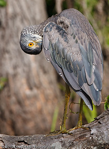 Yellow-crowned Night Heron juvenile