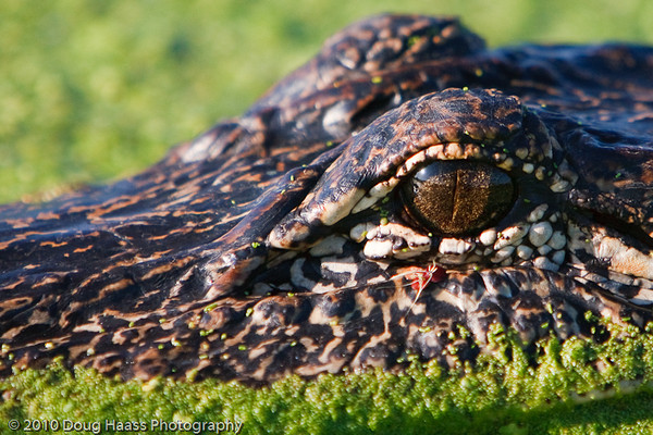 American Alligator Eye