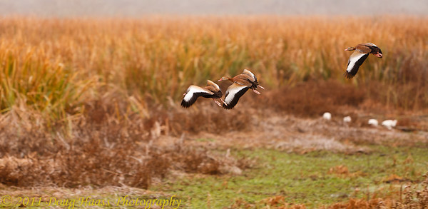 Black-bellied Whistling Ducks in flight on foggy morning over Pilant Lake with white egrets in the background