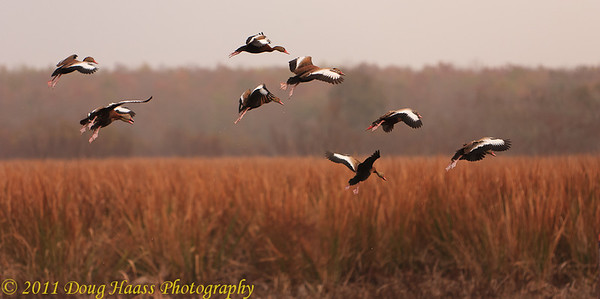 Black-bellied Whistling Ducks coming in for a landing on a foggy morning in Pilant Lake