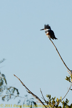 Belted Kingfisher (Adult female) on 40 Acre Lake