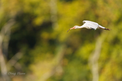 White Ibis in flight over 40 Acre Lake