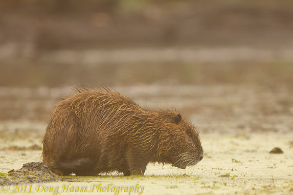Nutria on 40 Acre Lake in fog